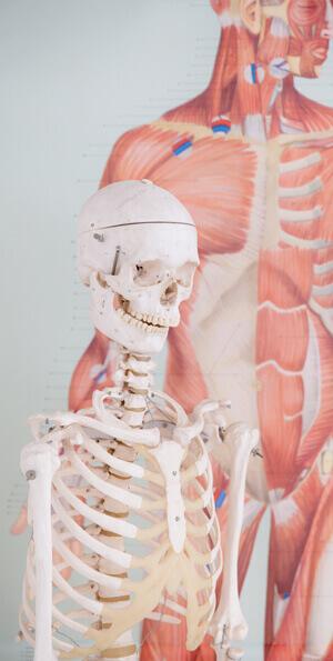 Skelet_1